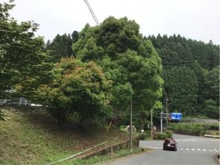 NTT西日本様より支障木の伐採依頼が有り速やかに対応しました